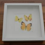 Details: Schmetterlingsbild Gelb - Trio 1