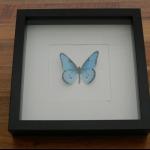 Details: Schmetterlingsbild Blau