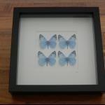 Details: Schmetterlingsbild Blau - Quattro