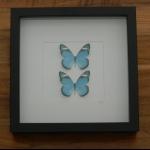 Details: Schmetterlingsbild Blau - Duo